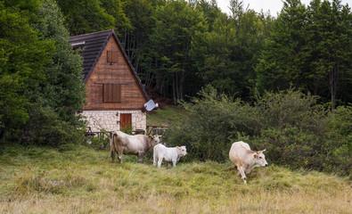 Casetta tipica alpina con mucche