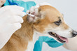 Vet Prevention of disease dog ears