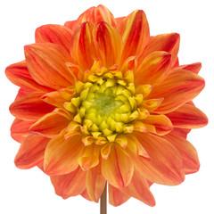 Beautiful Orange Dahlia Close-Up Isolated on White Background