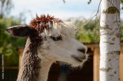 Foto op Canvas Kameel Alpaca portrait