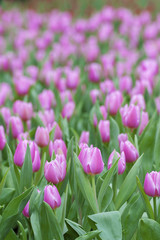 Tulip. Beautiful spring flowers. background of flowers.