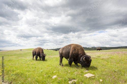 Poster Bison Beautiful Buffaloes in Yellowstone National Park