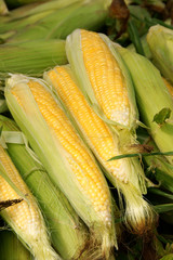 Corn cobs for sale