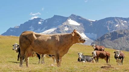 cattle in an alpine landscape