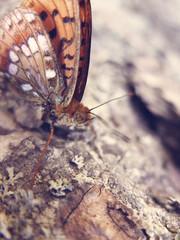Papillon - Lepidoptera