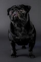 Cane carlino nero isolato su sfondo nero