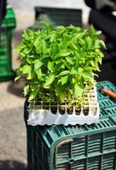 Plantones de hortalizas para la huerta