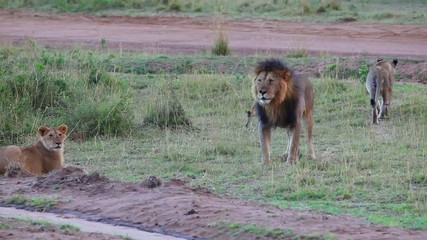 Lyons' Pride.    Lion meets his cubs. Evening.