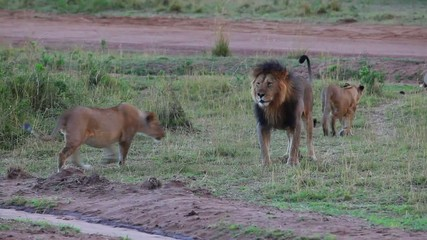 Leo and his pride. Lion examines the territory of the pride.