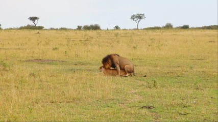 Mating lions. Safari. With sound.
