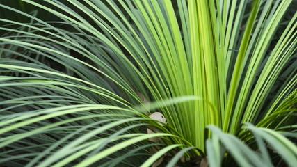 Green leaves of the Australian 'Kangaroo Tail' plant swaying