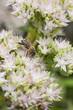 Obrazy na płótnie, fototapety, zdjęcia, fotoobrazy drukowane : bee on flower of sedum