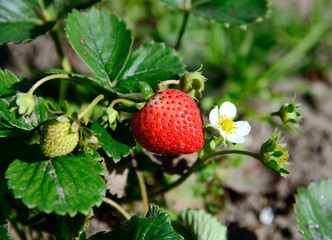 strawberries in the garden