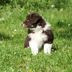 Amazing puppy of australian shepherd sitting in the grass