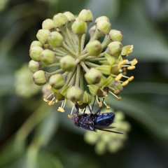 blue fly under flower of hedera