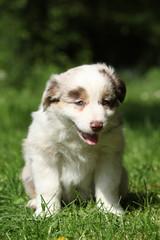 Amazing puppy of australian shepherd sitting in the grass