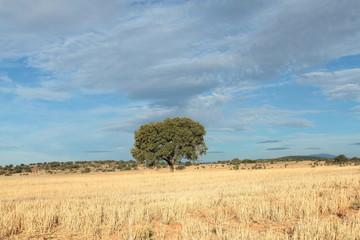 Campo de cereal recolectado y Encina. Quercus ilex.