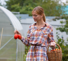 Young pretty woman picking tomatoes in her garden