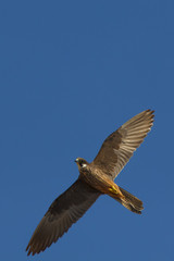 Flying Falcon (Eleonora's falcon)