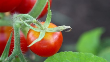 Red tomato in hothouse, closeup