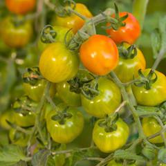 Tomaten reifen am Strauch