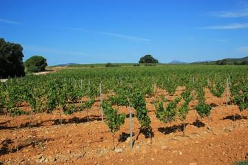 Vignoble de Provence.
