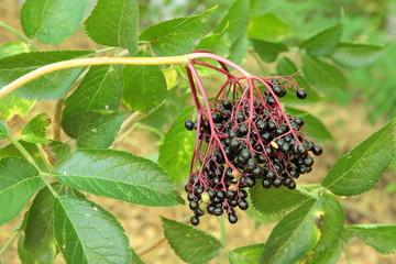 Frutos, bayas de Saúco. Sambucus nigra.