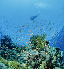 Egypt, Red Sea, Coral Reef snorkeling