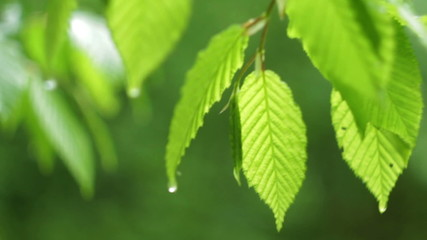 Green Spring Leafs with Drops of Water after the Rain HD