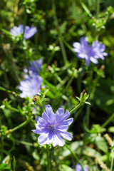 Blue chicory flowers in grass