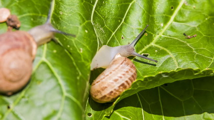 Two Garden Snails Crawling on a Green Leaf