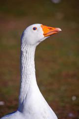 Home beautiful bird, goose.