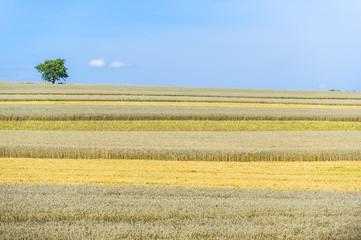Weizen und Gerstenfeld