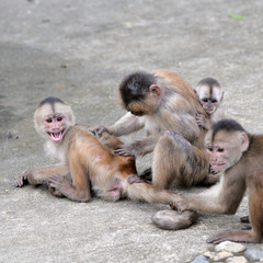 Happy family (in monkey's conception) in Misahualli, Amazonia