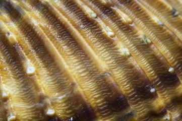 Texture - Gros plan coquillage Cardium