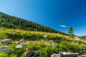 Pastoral summer scenery in the mountains, with fir tree forests