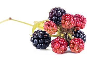Garden blackberry