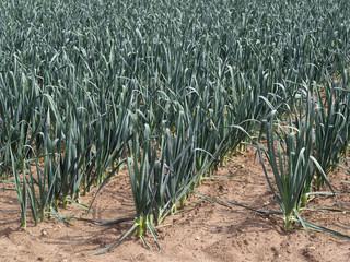 Porree, Lauch - Porreepflanzen auf Gemüsefeld