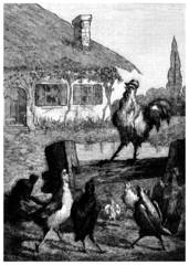 Harem de coq - Hen's Harem