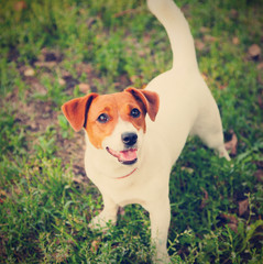 cute puppy Jack Russell on the green grass