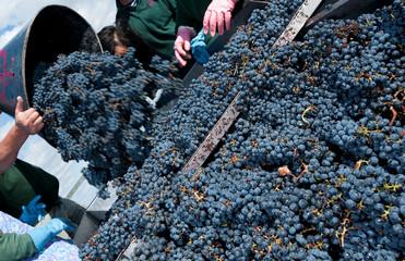 Harvest in the vineyards of Bordeaux, France