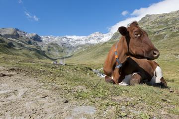 Mucca alpina