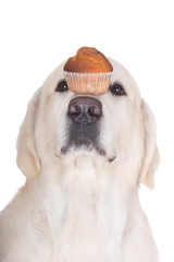dog holding muffin on his nose