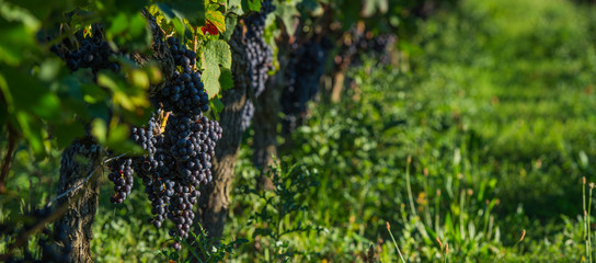 Grapes in St-Emilion