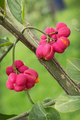 Beautiful bright fruit euonymus in September