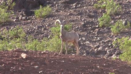 Young Desert Bighorn Ram