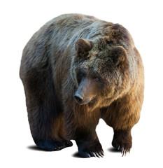 brown bear over white