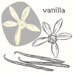 Vanilla pods and flowers. Hand-drawn vector illustration, can be