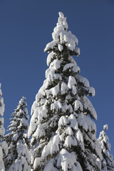 Wild Winter Landscape with spruce tree forest covered by snow