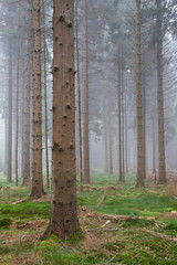 Mysterious misty pine forest